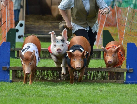 Joseph's Amazing Racing Pigs