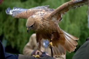 ray-prior-falconry-2