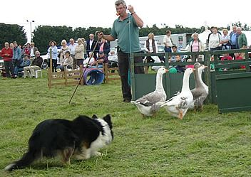 http://www.swallowfieldshow.co.uk/bob-hogg-sheepdog-display/