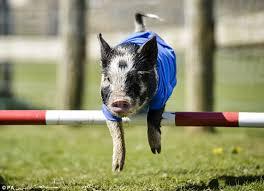 Joseph's Amazing Racing Pigs 2
