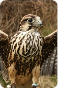 ray-prior-falconry-1
