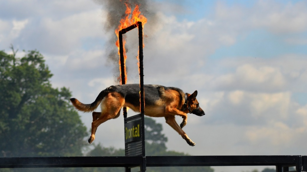 Essex Dog Display Team