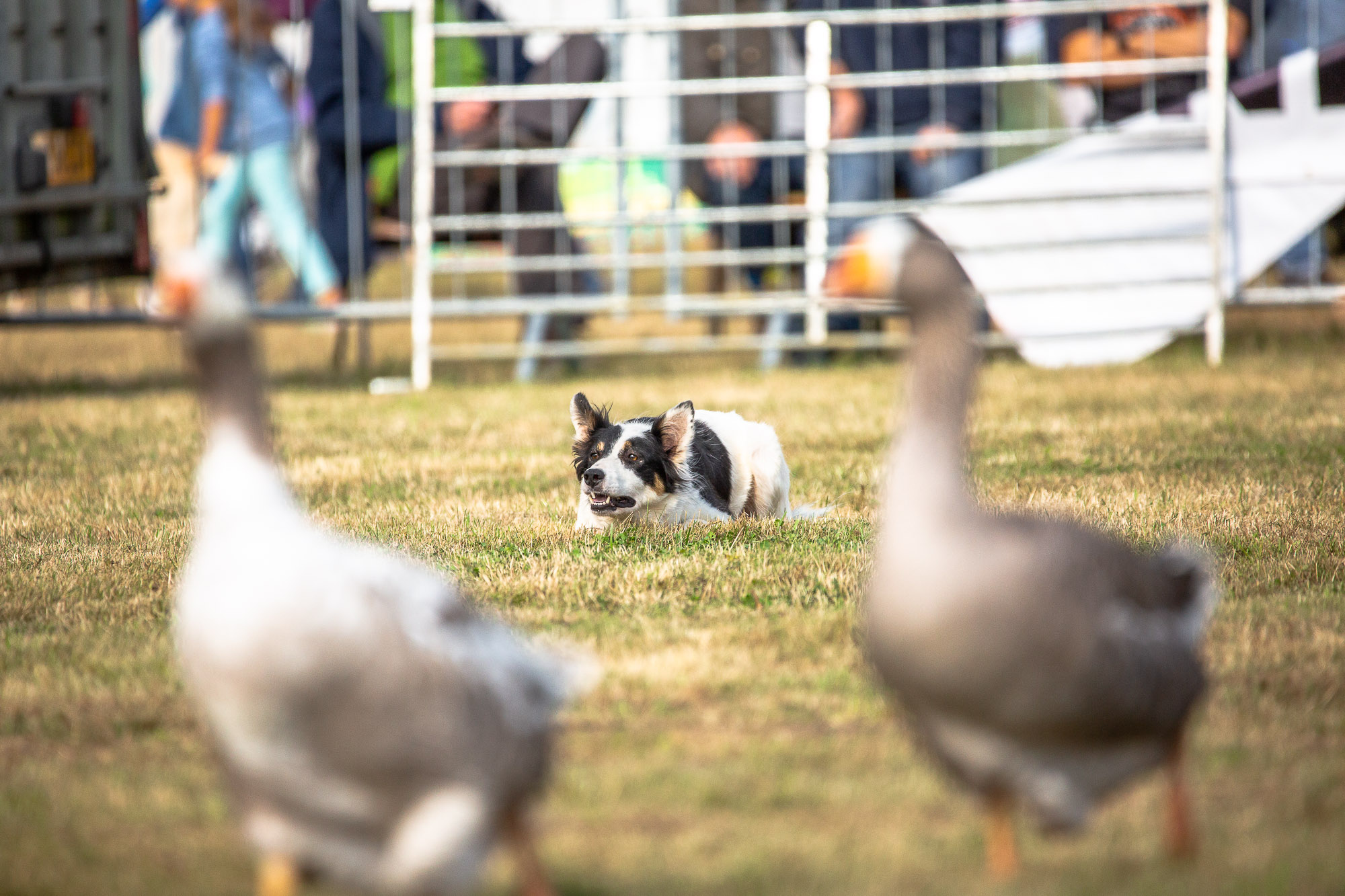 Sheep-Dog-Show-0183