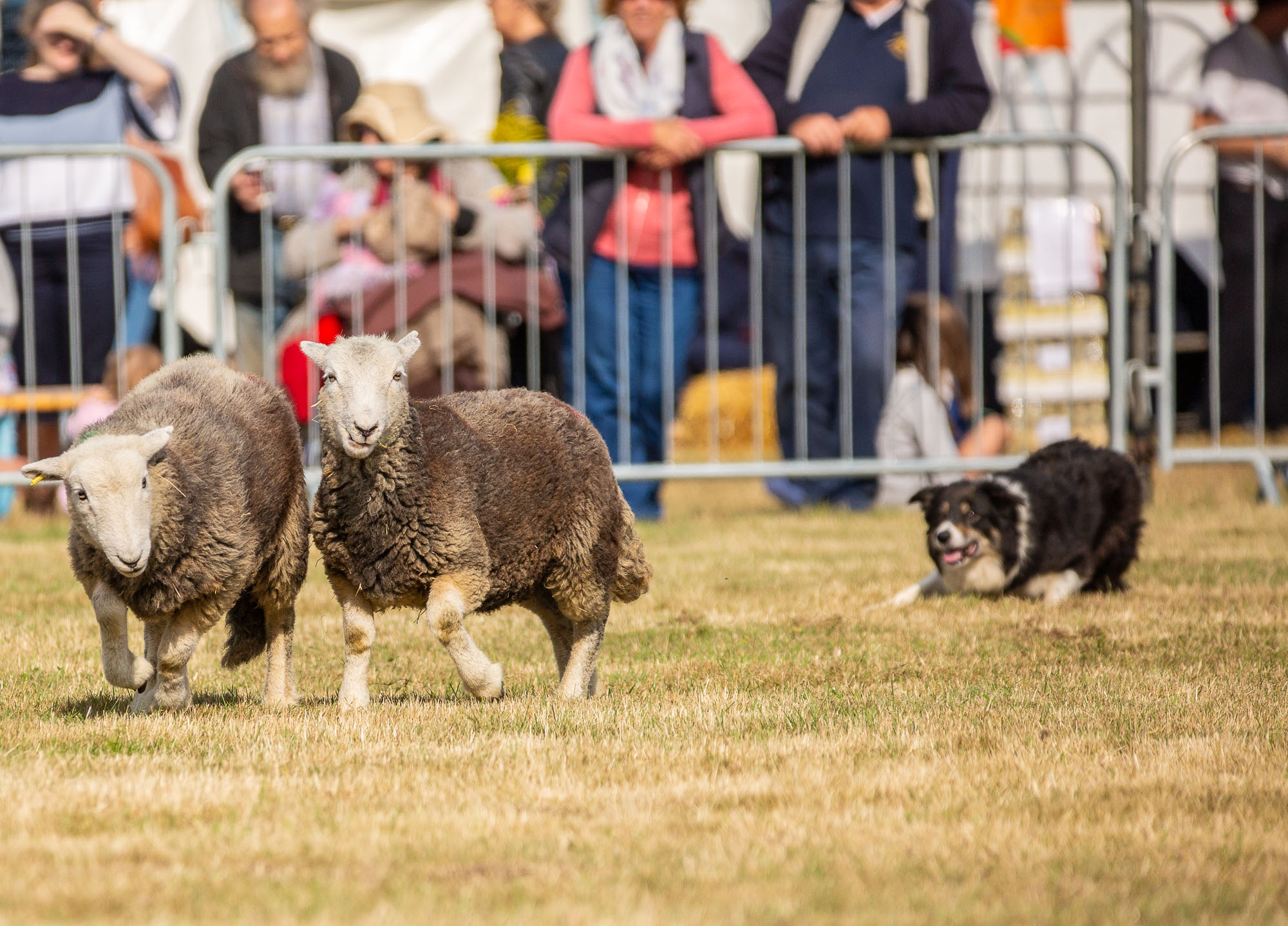 Sheep-Dog-Show-0185